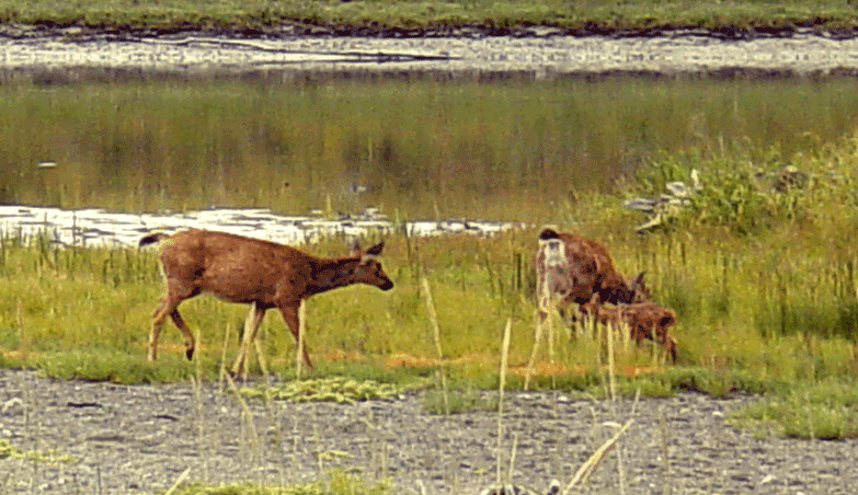 Two deer on Dungeness Spit, Washington.